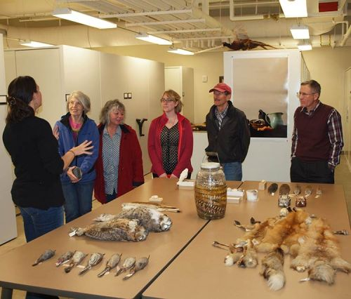 Staff curator giving tour to the public. On table are specimens: great-horned owl, gopher snakes, thrashers, red foxes, eastern screech owls, long-tailed weasels, california gull eggs, red-winged blackbird, and pocket gophers.
